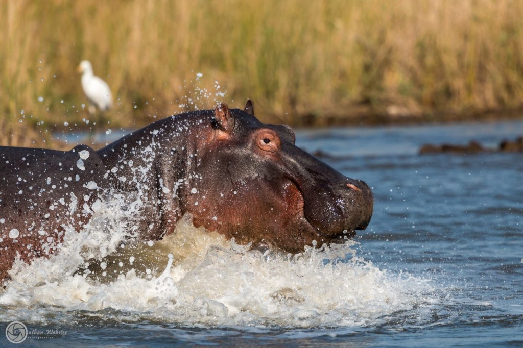 Hippos playing