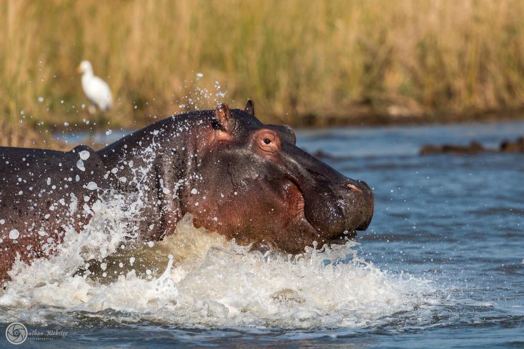 Hippopotamus Tours