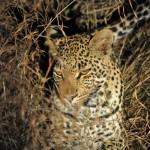 night drive safari leopard
