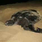 turtle tours st lucia kwazulu natal south africa
