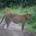 cape vidal isimangaliso wetland park Leopard