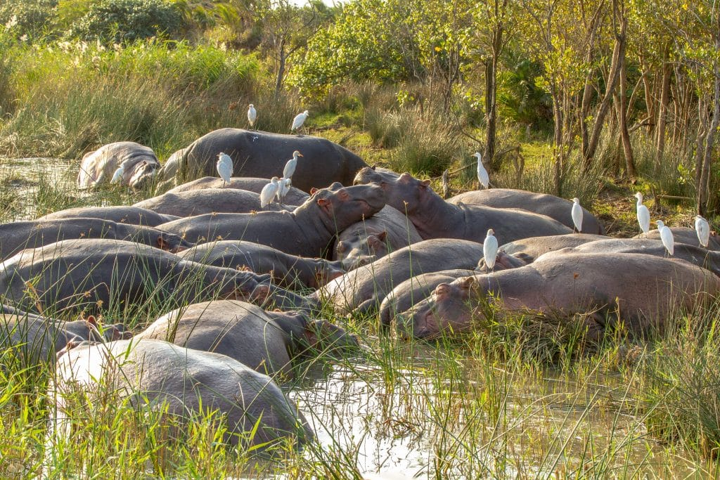st lucia pod of hippos