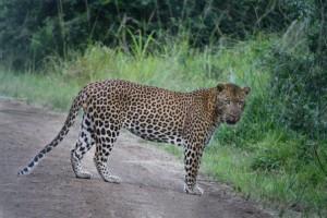 cape vidal leopard