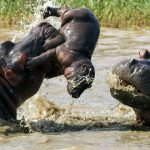 hippo facts and information