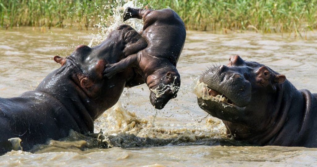 Hippo Facts Information Pictures Amp Vidoe S Learn More