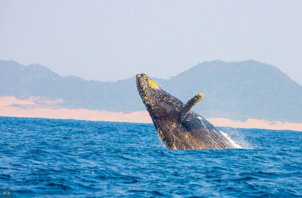 Cape Vidal Humpback Whale