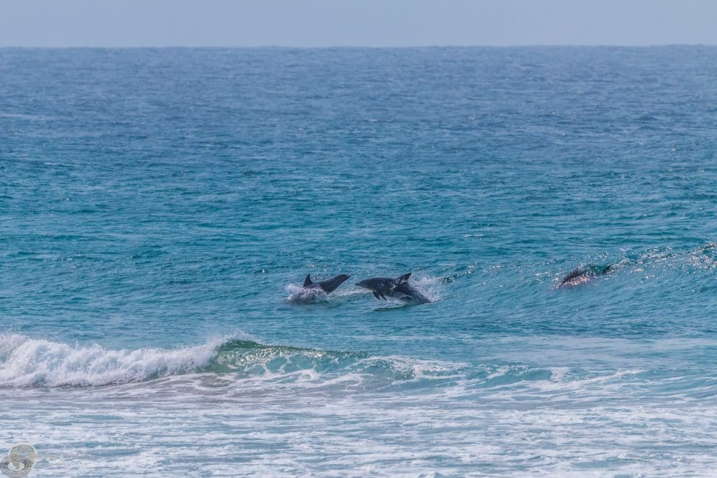 cape vidal isimangaliso dolphins swimming