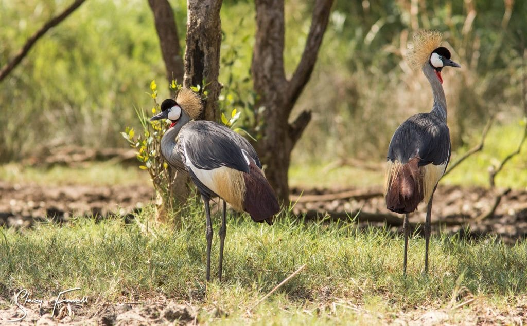 African Crowned Crane St Lucia