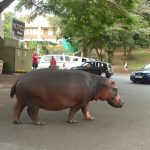 hippo in main street of st lucia
