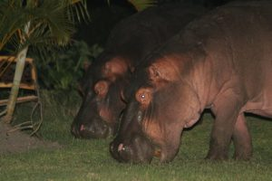 best place to witness hippos