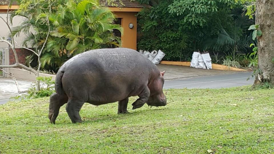 hippo walking through the streets of st lucia kwazulu natal