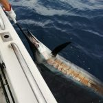 sailfish tagged and released st lucia fishing