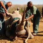 prepairing white rhino