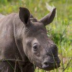 isimangaliso wetland park de horning rhinos