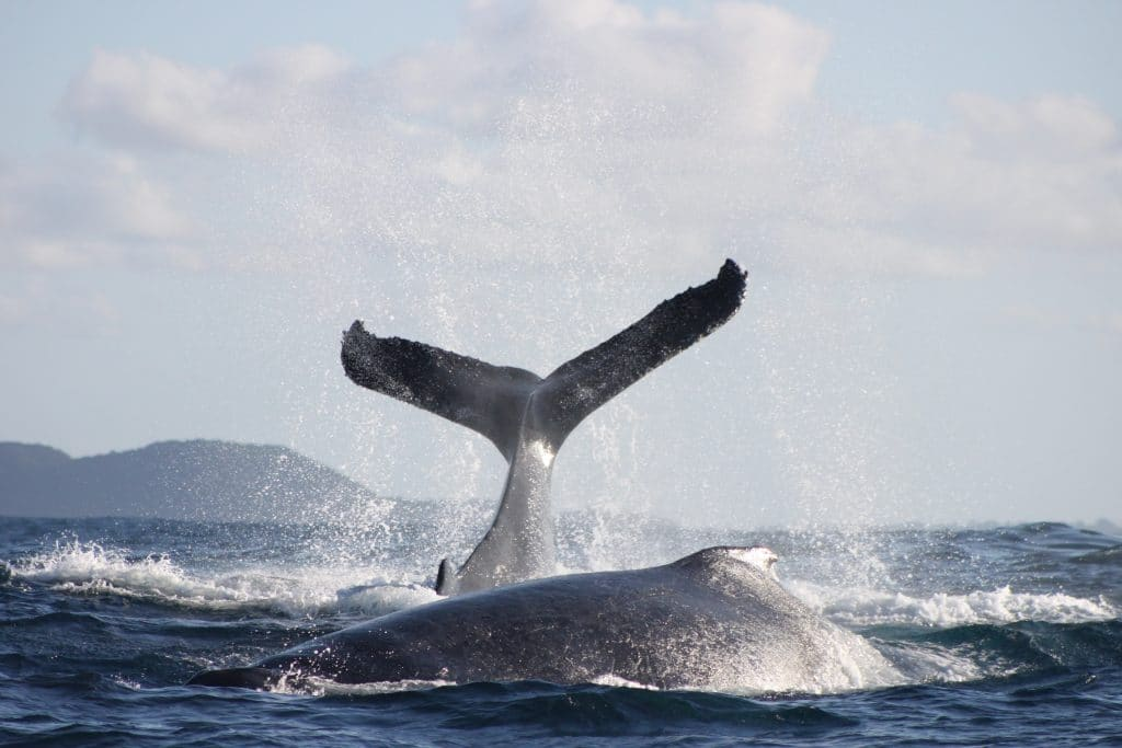 2 Humpback whales breaching of st lucia south africa