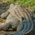 nile croc length