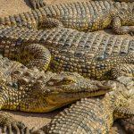 nile crocs juveniles