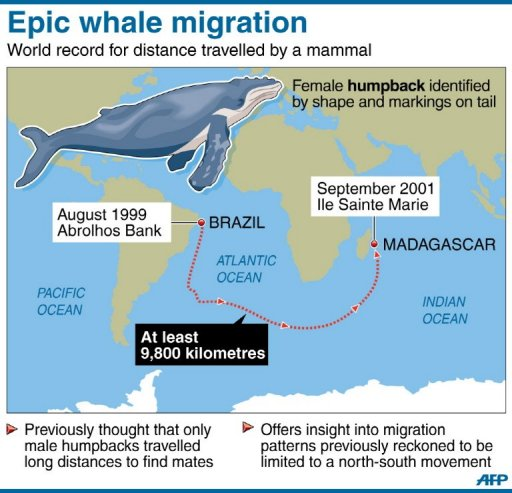 humpback whale facts and distances travelled