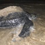 leatherback turtle returning to ocean