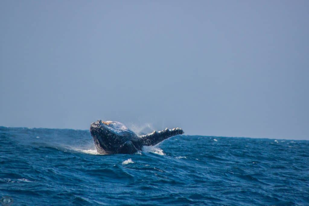 st lucia whale watching season