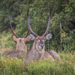 waterbuck witnessed while on the iphiva walking trail st lucia