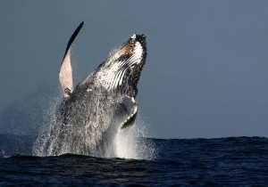 humpback whale facts